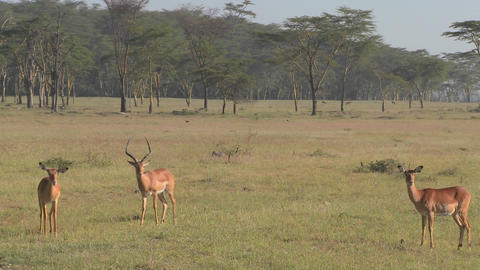 African antelope graze on the plains Stock Video Footage