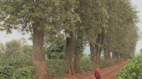 A worker at a coffee plantation walks down a dirt road in... Stock Video Footage