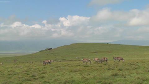 A wide shot of zebras grazing under the midday sun on... Stock Video Footage
