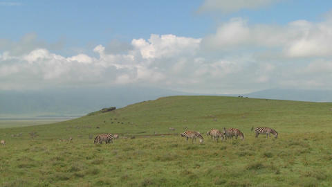 A wide shot of zebras grazing under the midday sun on safari in Africa 影片素材