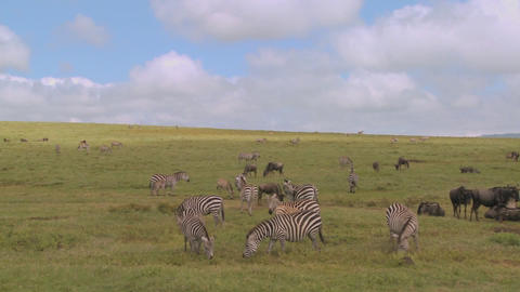 A pan across the African savannah with zebras and wildebeest grazing Footage