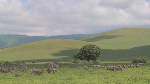 Wide shot of green rolling hills of Africa with zebras grazing Footage