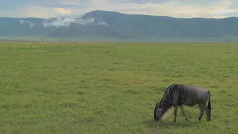 A wildebeest grazes on the plains of Africa Stock Video Footage