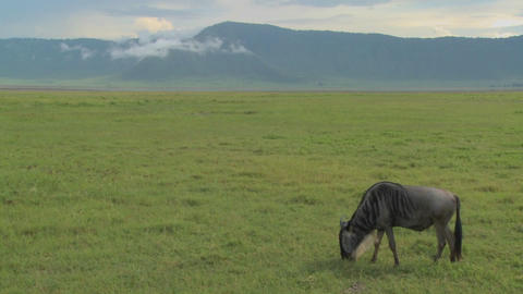 A wildebeest grazes on the plains of Africa Footage