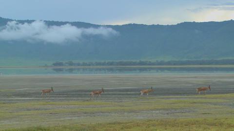 Eland antelopes walk near a lake on the plains of Africa Footage