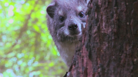 An African hyrax peers out of a tree Stock Video Footage