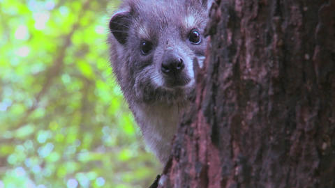 An African hyrax peers out of a tree Footage