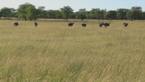 A group of ostriches stand in the distance on the plains... Stock Video Footage