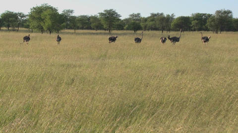 A group of ostriches stand in the distance on the plains of Africa Footage