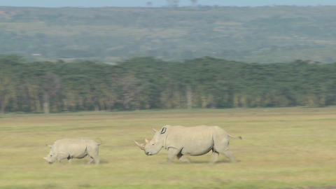 Rhinos cross a grassy plain Stock Video Footage