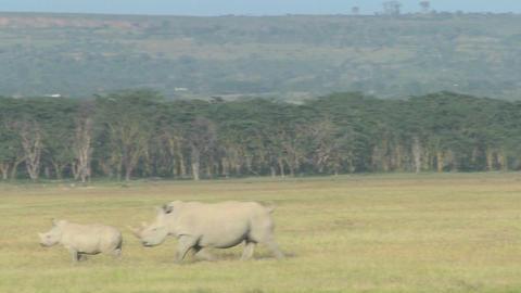Rhinos cross a grassy plain Stock Video Footage