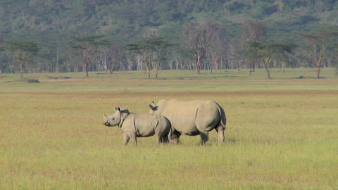 Two rhinos in a grassy field Stock Video Footage