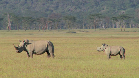 Two rhinos in a grassy field Footage