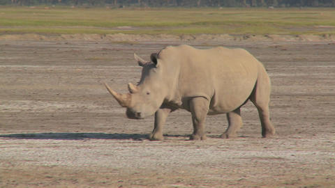 A rhino on a muddy plain Stock Video Footage