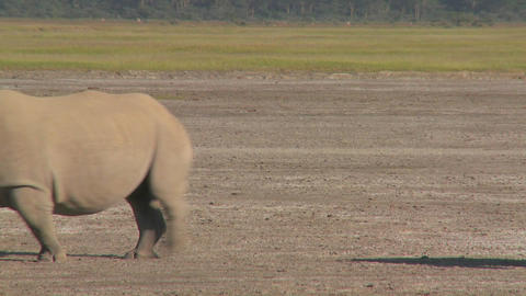A rhino on a muddy plain Live Action