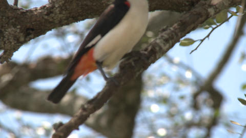 A white headed weaver sits in a tree in Africa Stock Video Footage