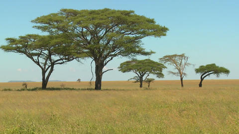 Acacia trees grown on the African savannah Stock Video Footage