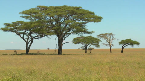 Acacia trees grown on the African savannah Footage