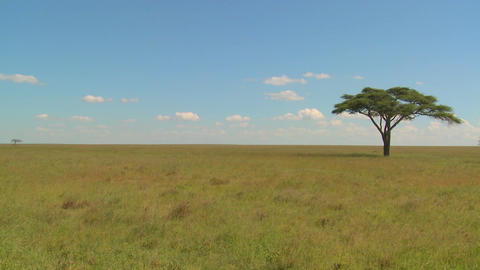 A lonely tree on the Serengeti plain in Africa Stock Video Footage