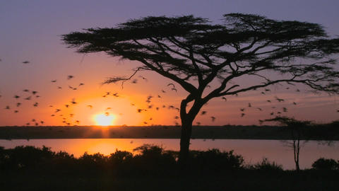 Birds fly through a beautiful sunset shot on the plains of Africa with acacia tree foreground Footage