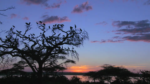 A large flock of birds flies from an acacia tree on the... Stock Video Footage