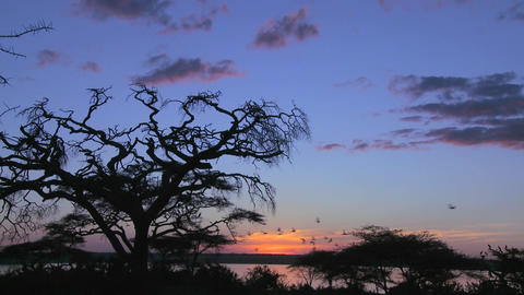 A large flock of birds flies from an acacia tree on the plains of Africa Footage