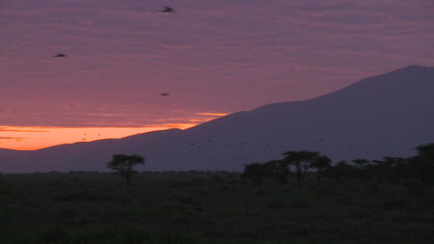 Birds migrate across the plains of Africa at dawn with... Stock Video Footage
