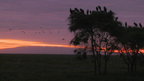 Birds sit in trees and watch others migrate at dawn on the Serengeti Footage
