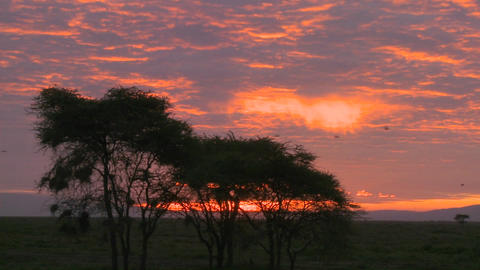 An orange sunset over the plains of Africa with acacia tree foreground Footage