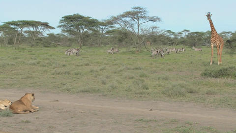 A giraffe stands its ground against a female lion Stock Video Footage
