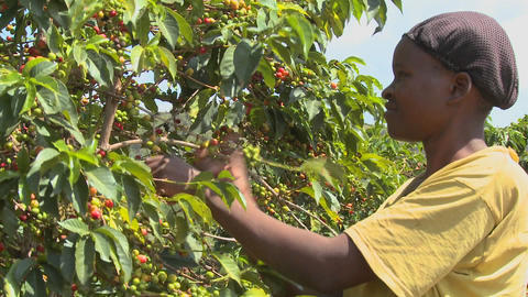 A woman picks coffee beans on a farm in Africa Stock Video Footage