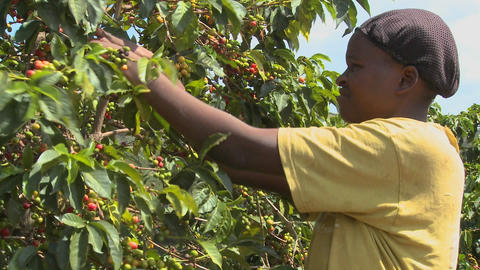 A woman picks coffee beans on a farm in Africa Footage
