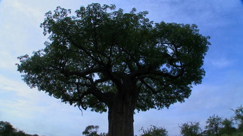 Time laspse shot of clouds moving over a majestic baobab tree in Tarangire Park, Tanzania Footage