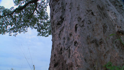 A low angle tilt up to the heights of a majestic baobab... Stock Video Footage