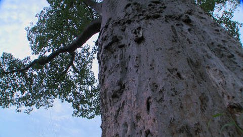 A low angle tilt up to the heights of a majestic baobab tree in Tarangire, Tanzania Footage