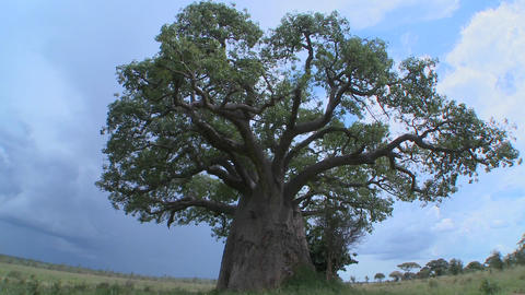 A slow zoom into a baobab tree on the plains of Tarangire, Tanzania Footage