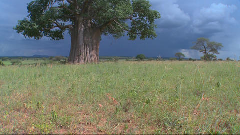 Tilt up to a baobab tree standing against a stormy sky in... Stock Video Footage