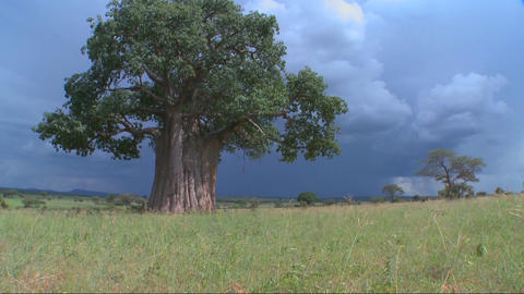 Tilt up to a baobab tree standing against a stormy sky in Tarangire, Tanzania Footage