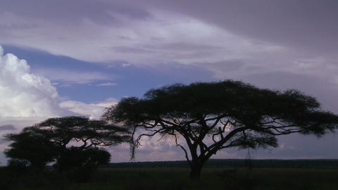 Slow move into acacia trees silhouetted against a stormy sky in this time lapse shot Footage