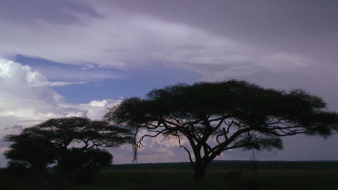 Slow move into acacia trees silhouetted against a stormy... Stock Video Footage
