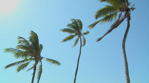 A low view of palm trees blowing in the wind Stock Video Footage