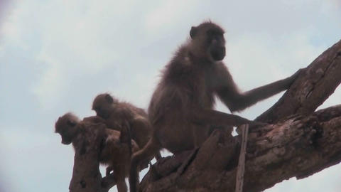 Baboons and babies sit in a tree in Africa Stock Video Footage