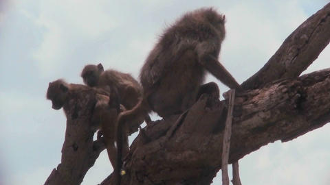 Baboons and babies sit in a tree in Africa Footage