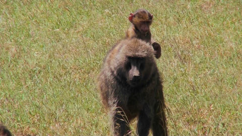 A baby baboon rides on her mothers back Stock Video Footage