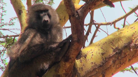 An adult baboon sits in a tree in Africa Footage
