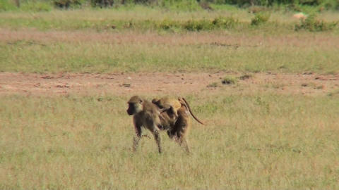 A mother baboon carries her baby across the savannah in... Stock Video Footage