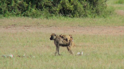 A mother baboon carries her baby across the savannah in Africa Footage