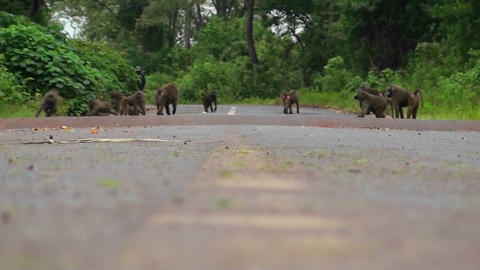 Baboons play on a road in Africa Stock Video Footage