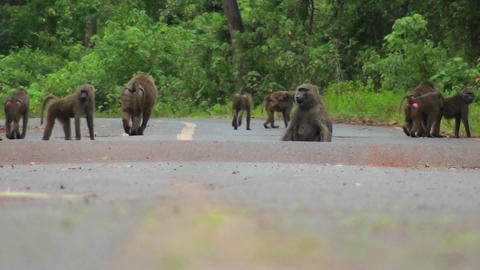 Baboons play and chase each other along a road in Africa Stock Video Footage