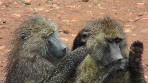 Baboons pick fleas off each other in a grooming ritual in... Stock Video Footage